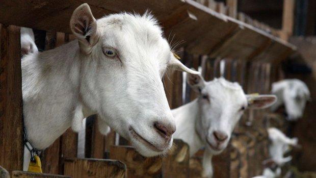 Chefkok op de bres voor geitenvlees