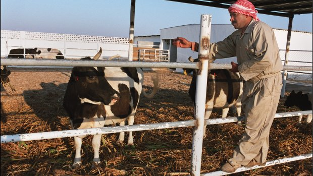 Qatar vliegt duizenden koeien in als antwoord op boycot