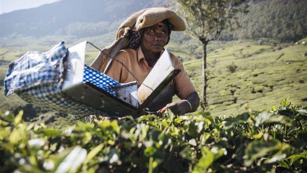 Aanvoer beroemde Darjeeling-thee dreigt op te drogen