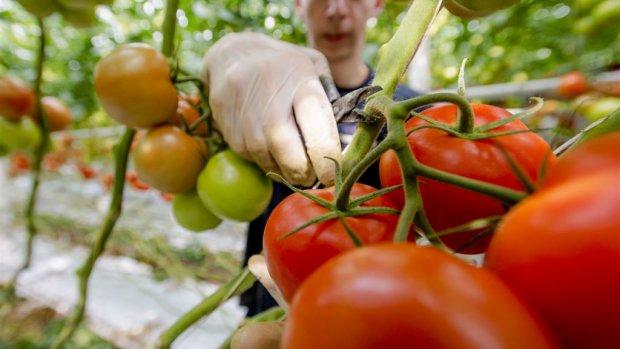 Trostomaat is de koning van de groenten in onze kassen
