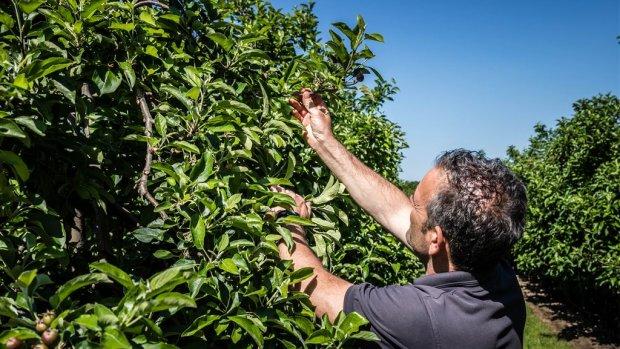 Tegenvallende appeloogst betekent kassa voor sommige fruittelers
