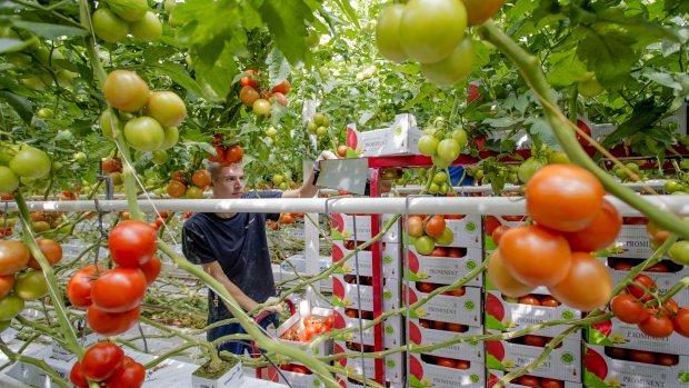 Zeer besmettelijk tomatenvirus gevonden in Westland