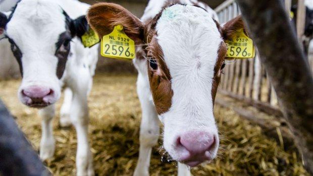Boeren woedend over sjoemelpraktijken kalfjes: 'We zijn genaaid'