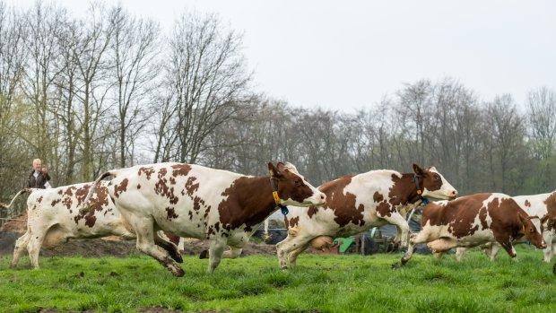 Boeren zijn blik in de wei zat: dodelijk voor koeien