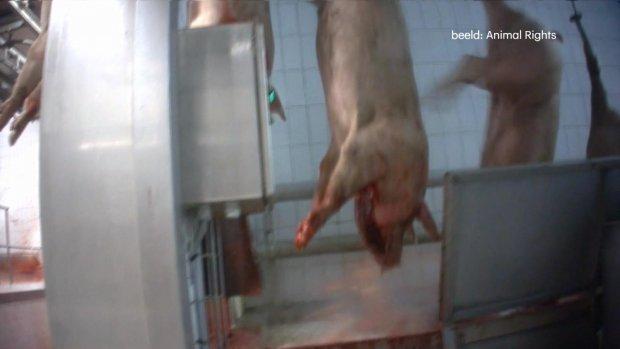 Dieren levend gekookt en gevild in Nederlandse slachthuizen