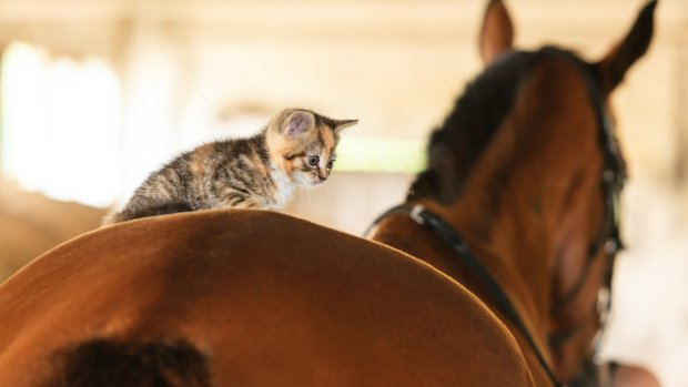 Deurwaarders mogen je kitten niet meer veilen, maar je pony wel