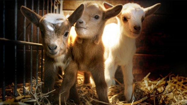 Aantal geiten blijft fors stijgen: 'Geitenmelk is geen hype'