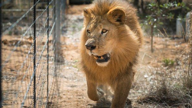 Stropers opgegeten door leeuwen in Zuid-Afrikaans reservaat