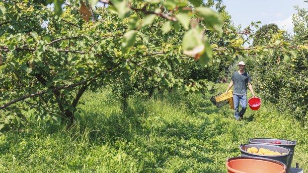 Fruittelers vrezen hitte: 'Kleine pruim levert te weinig op'