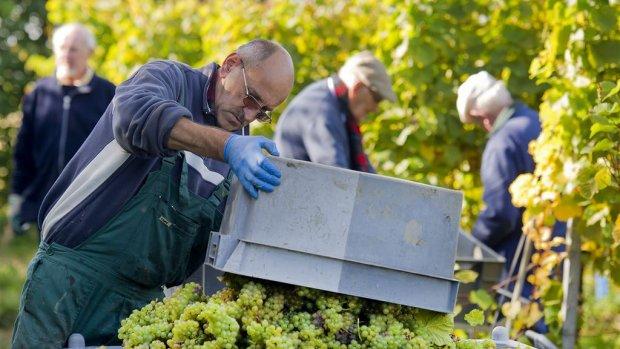 Wijnboeren verwachten topoogst: 'Als het maar niet stortregent'