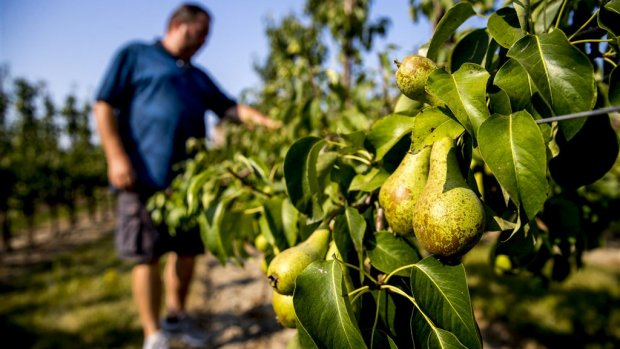 Supermarkten helpen boer, kopen te kleine pruimen en peren