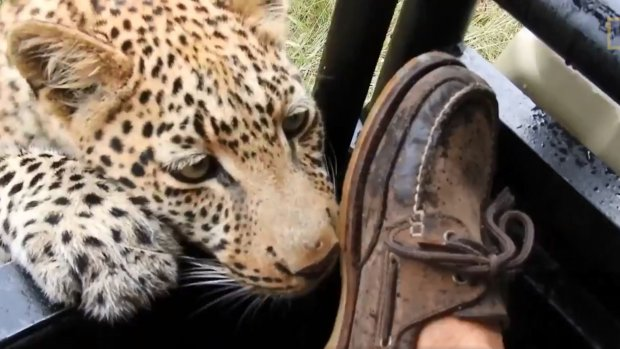 Luipaard komt wel heel dicht bij toerist