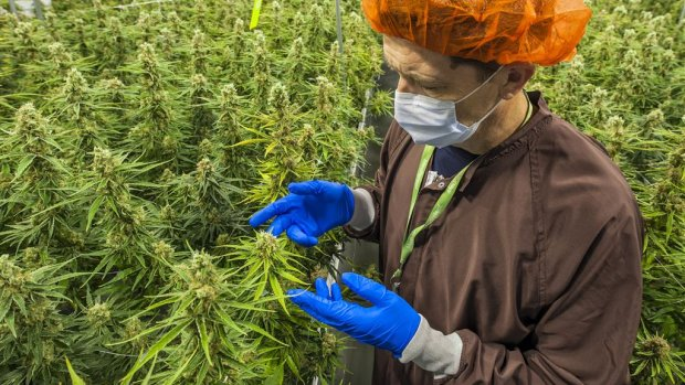 Beleggerscongres over cannabis in Nederland: 'Er zit veel potentie in'