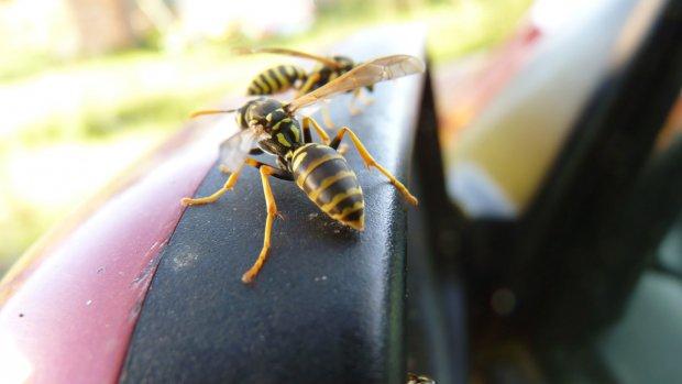 Wesp veroorzaakt kilometerslange file in Duitsland