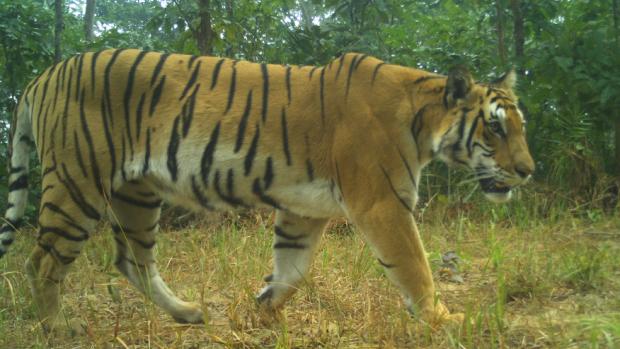 Doel is gehaald: verdubbeling wilde tijgers in Nepal