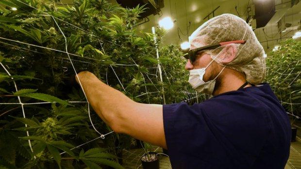 Marihuana-gekte in de VS wekt interesse Europese investeerders