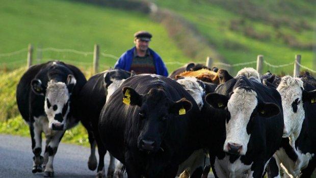 Ierse runderen vaak slecht behandeld: 'Keurmerk stelt niets voor'
