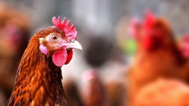 Jongeren voetballen met gestolen kip: diertje overleeft het niet