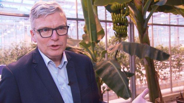 Wageningse wetenschapper bedenkt oplossing voor zieke banaan