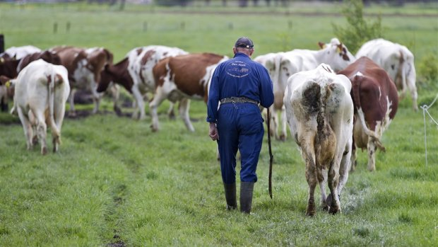 Groot raadsel: Belgische melkkoe vervuilt minder dan Nederlandse