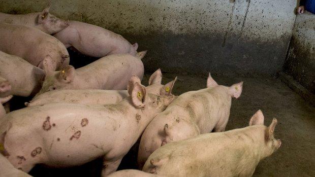 'Meer varkens betekent meer gezondheidsproblemen'