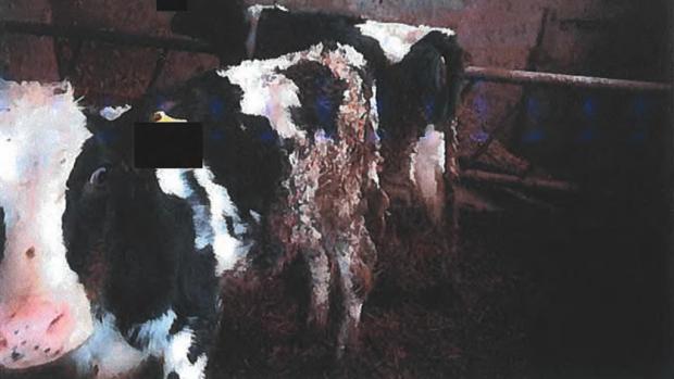 Kalfjes op 'boerderij 110' staan in een dikke laag mest en urine