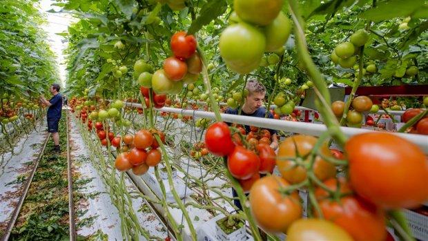 Tomatenkwekers houden deuren gesloten uit angst voor virus