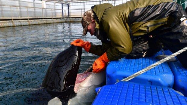Rusland zet deuren 'walvisgevangenis' open, tientallen orka's en beloega's bevrijd