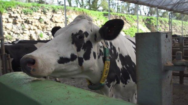 Deze koeien testen 5G al
