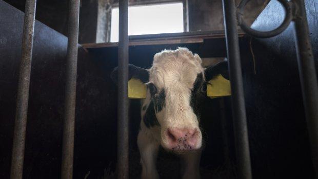 Minister grijpt in bij NVWA: voortaan twee dierenartsen naar omstreden slachthuizen