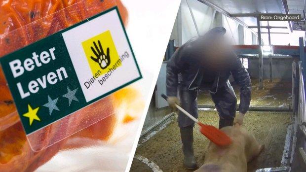 Dierenbescherming legt slachthuis Westfort sancties op vanwege mishandeling varkens