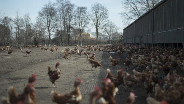 Maatregelen om vogelgriep: in heel Nederland ophokplicht voor pluimvee