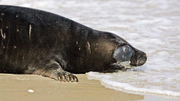 Formule 1 wil coureurs door zeehondenreservaat laten pendelen