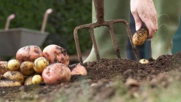 Texelse boeren willen wereld voeden met zilte aardappel