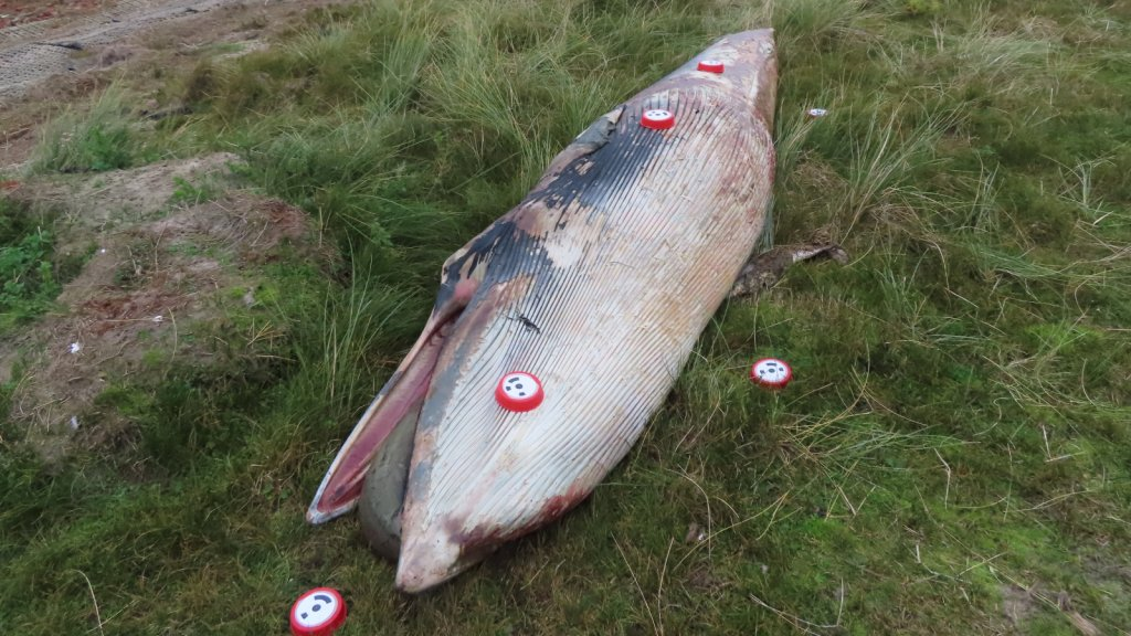 Op en naast het walviskadaver zijn referentiepunten aangebracht waarmee de onderzoekers metingen doen.