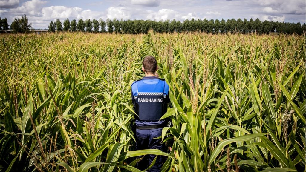 Een opsporingsambtenaar op zoek naar verstekelingen in een maisveld bij Lage Zwaluwe.