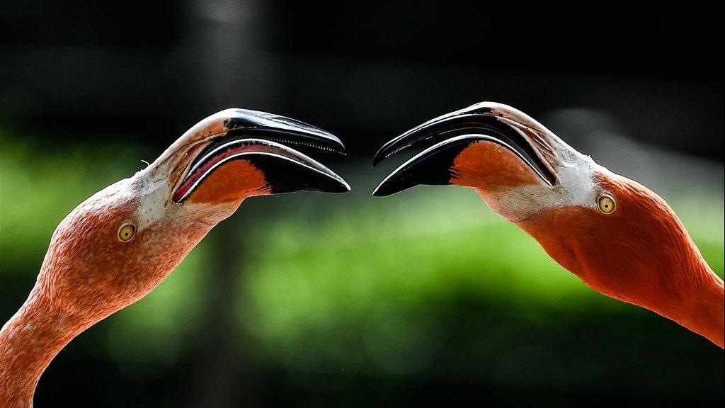Kuikens van flamingo's die worden grootgebracht door een mannenstel hebben een veel hogere overlevingskans.