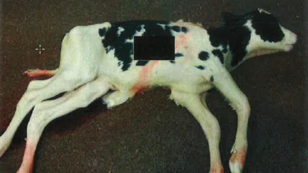Hoogzwangere koeien naar slachtbank ondanks verbod, honderden kalfjes gestikt