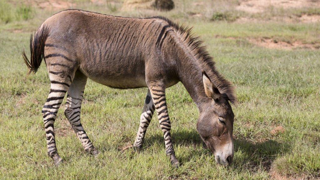 Een kruising tussen een zebra en een ezel: 'Dit komt vaker ...