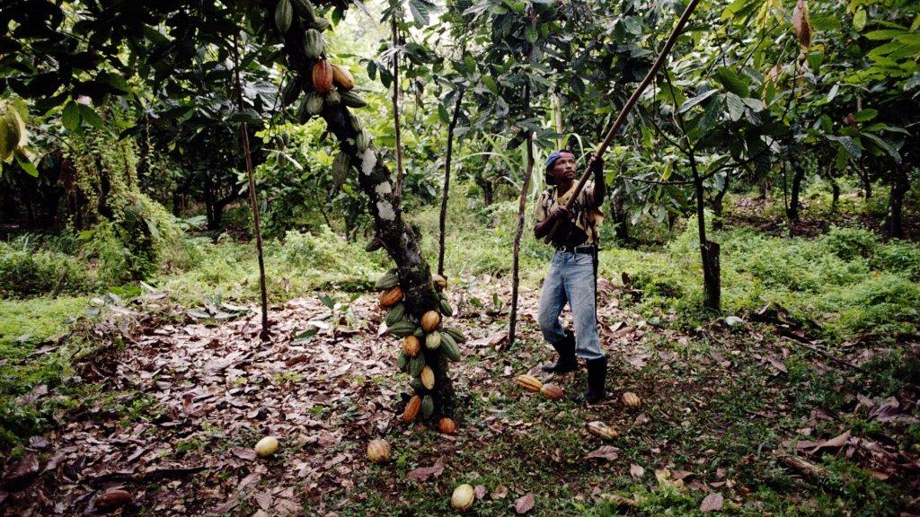 Een cacaoboer aan het oogsten.