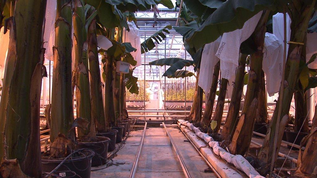 De bananen in Wageningen komen uit een kas en staan niet op aarde.