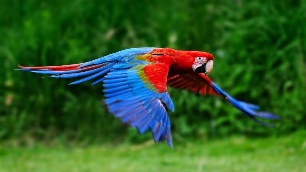 """Afbeeldingsresultaat voor papegaai"""""""