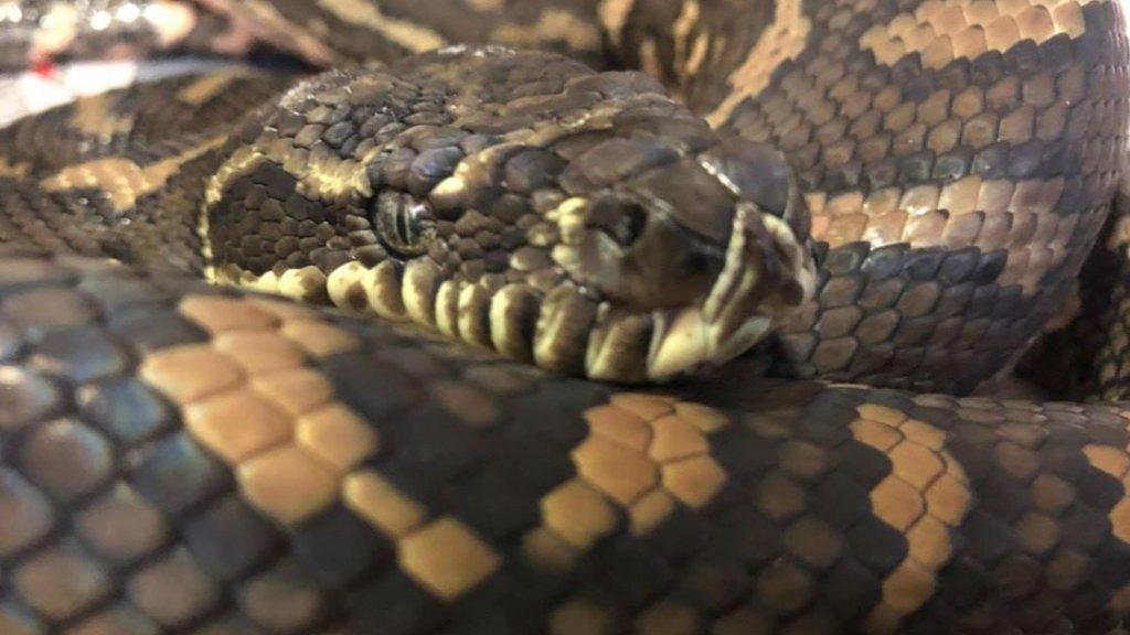De python na de operatie
