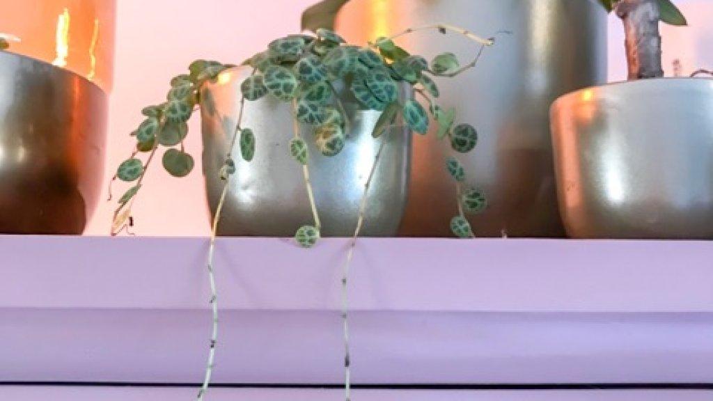 Ook deze vetplant laat zijn bladeren vallen