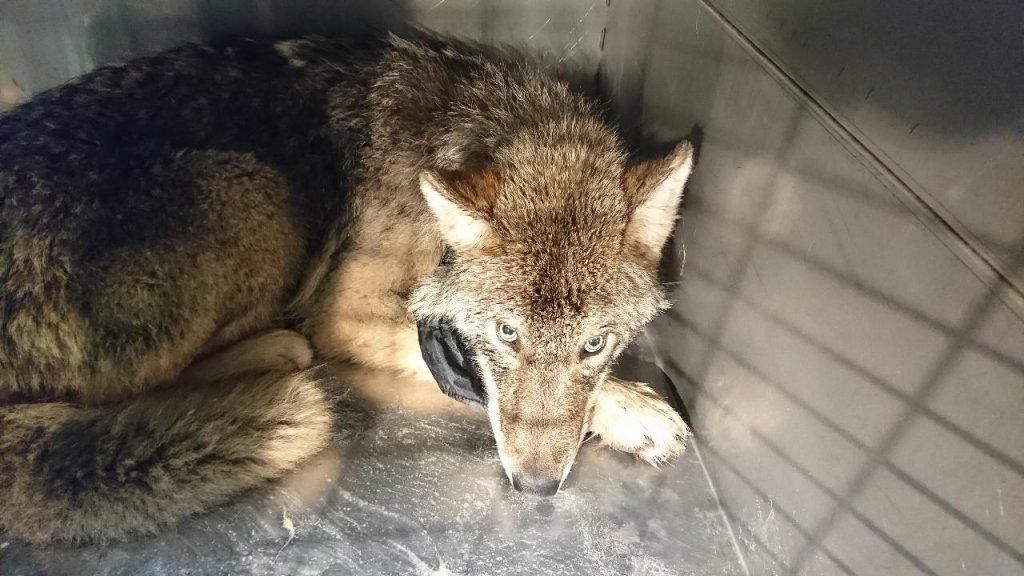 De wolf in een kooi