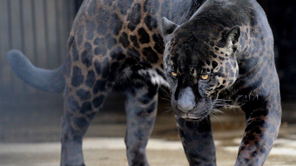 bezoekster dierentuin verwond door jaguar bij maken selfie | rtl nieuws