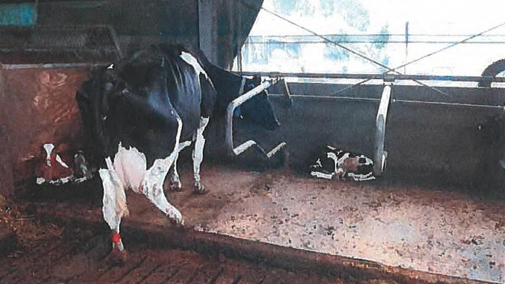 Een kalfje deelt dezelfde stal met een volwassen koe.
