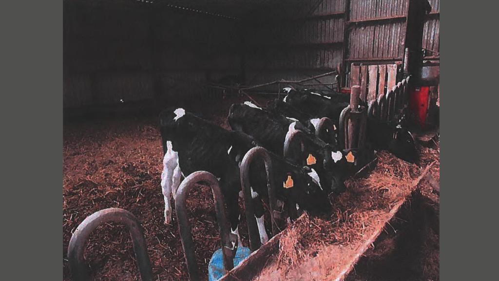 Magere kalveren met uitstekende botten op 'boerderij 110'