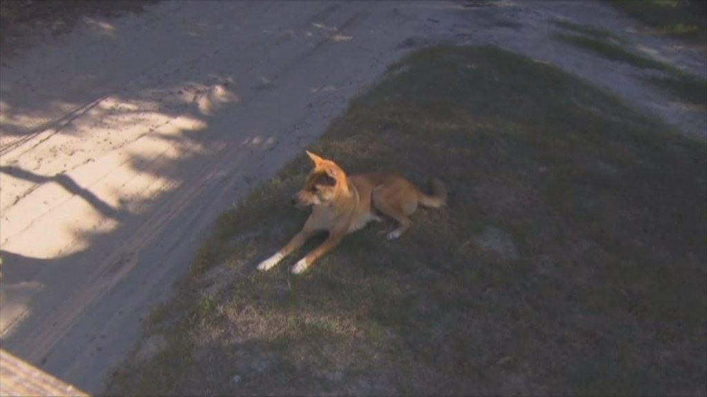 Dingo's kunnen wel degelijk voor gevaar zorgen.