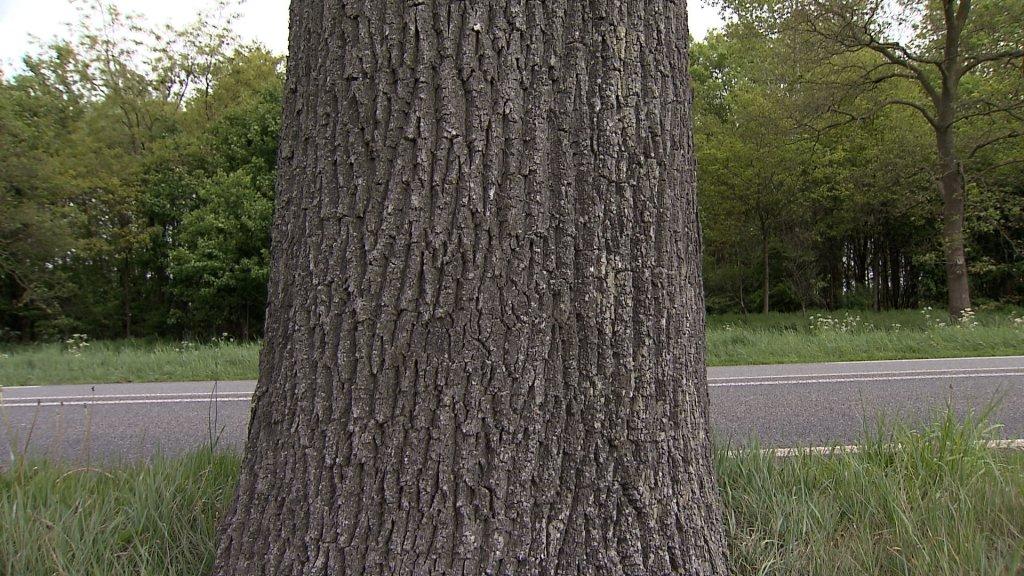 Sommige bomen langs de N319 zijn eeuwenoud.